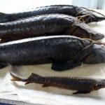kopchen-ryba-5